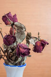 Roses wilt and dry by the time Stock Images