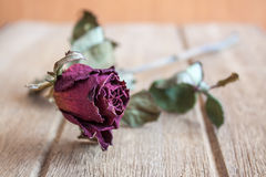 Roses wilt and dry by the time Royalty Free Stock Photos