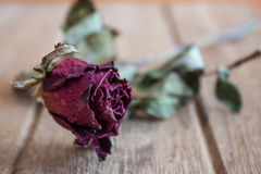 Roses wilt and dry by the time Stock Photo