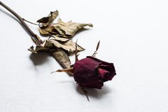 Roses wilt on white canvas background Royalty Free Stock Images