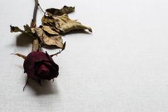 Roses wilt on white canvas background Royalty Free Stock Photos