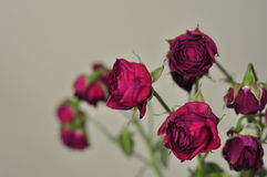 Roses Wilting Stock Image