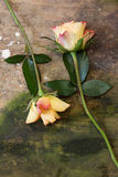 Roses on wood Stock Photography