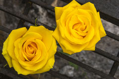 Roses on Wrought Iron Grill Royalty Free Stock Photo