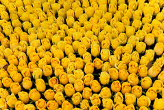 Roses yellow Stock Photography