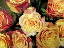 Roses yellow background Royalty Free Stock Photo