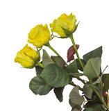 Roses - yellow isolated Stock Image