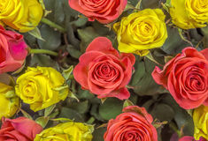 Roses - yellow and red Royalty Free Stock Photography