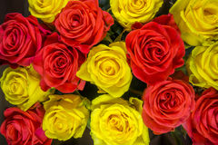Roses - yellow and red Stock Image