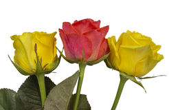 Roses - yellow and red isolated Royalty Free Stock Image