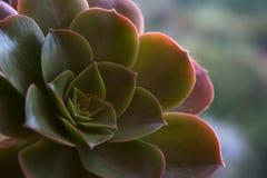 Roset?n del Aeonium con el verde a picar y las hojas amarillas foto de archivo libre de regalías