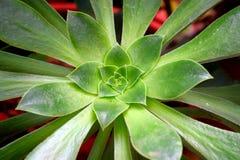 Rosetón - hojas del verde del Aeonium Undulatum - planta ornamental atractiva Fotografía de archivo