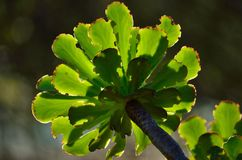 Rosetón verde del aeonium Fotos de archivo