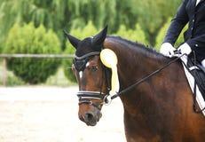 Roseta do primeiro prêmio em uma cabeça de cavalo do adestramento Fotos de Stock