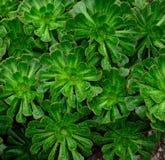 Rosetas do aeonium com pingos de chuva imagem de stock royalty free