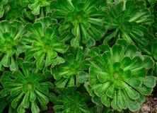 Rosetas do aeonium com pingos de chuva fotografia de stock royalty free
