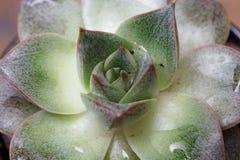 Rosetón elegante, nematodos de piedra de la planta de loto Fotos de archivo libres de regalías