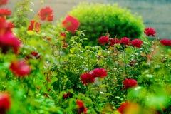 Roseto Fiorendo nel giardino è aumentato Immagine Stock