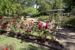 Roseto nella primavera di Tyler TX Fotografia Stock