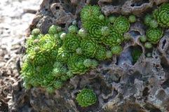Rosette che crescono nella roccia Fotografia Stock