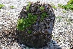 Rosette che crescono nella roccia Fotografie Stock Libere da Diritti