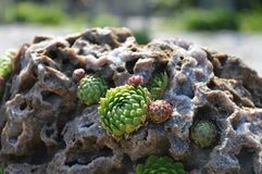 Rosette che crescono nella roccia Fotografia Stock Libera da Diritti