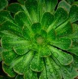 Rosette d'aeonium avec des gouttes de pluie Photos stock