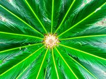 Rosette of green colorful leaves of a tropical plant close-up.  royalty free stock photography