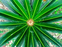 Rosette of green colorful leaves of a tropical plant close-up.  stock images