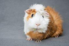 Rosette guinea pig Royalty Free Stock Image
