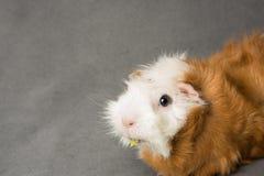 Rosette guinea pig Stock Photo