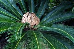 Rosette japonês da palma de sago com inflorescência Fotografia de Stock