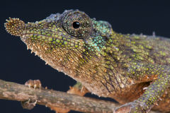 Rosette-nosed chameleon / Rhampholeon spinosus. The rosette-nosed chameleon is a small diurnal lizard species with a unique leaf shaped nose. They are found on stock image