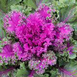 Rosette of purple kale Stock Image