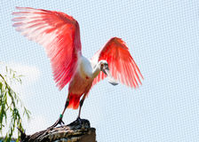 Rosette spoonbill Stock Images