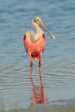 Rosette Spoonbill in shallow blue water Royalty Free Stock Images