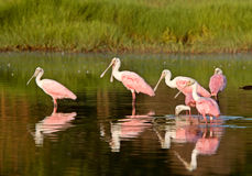 Rosette Spoonbills. Feeding in Florida waters Royalty Free Stock Photography