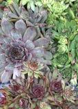 Rosette variopinte della pianta di Sempervivum fotografia stock libera da diritti