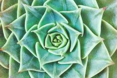 Rosette verdi della pianta succulente Immagini Stock