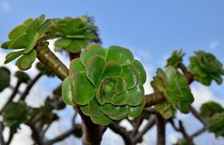 Rosettes of aeonium royalty free stock image