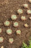 Rosettes of Sempervivum (Hen and Chicken) on Flower Bed Royalty Free Stock Photo