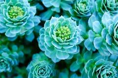 Rosettes vertes d'un Aeonium de Crassulaceae Images stock
