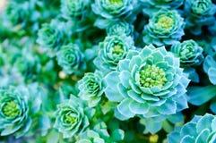 Rosettes vertes d'un Aeonium de Crassulaceae Photos stock