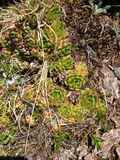 Rosettes of wild succulent plants Sempervivum flowers growing on the rocks in mountain area Stock Image
