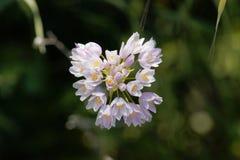 Roseum di Rosy Garlic Allium Immagini Stock Libere da Diritti