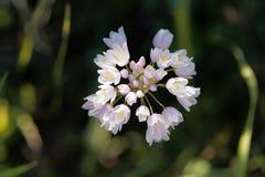 Roseum di Rosy Garlic Allium Immagine Stock Libera da Diritti
