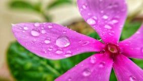 Roseus Catharanthus стоковая фотография