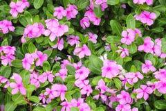 Roseus de Catharanthus Image stock