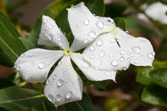 Roseus de Catharanthus alba Photo libre de droits