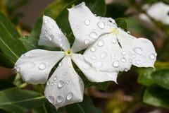 Roseus del Catharanthus alba Foto de archivo libre de regalías